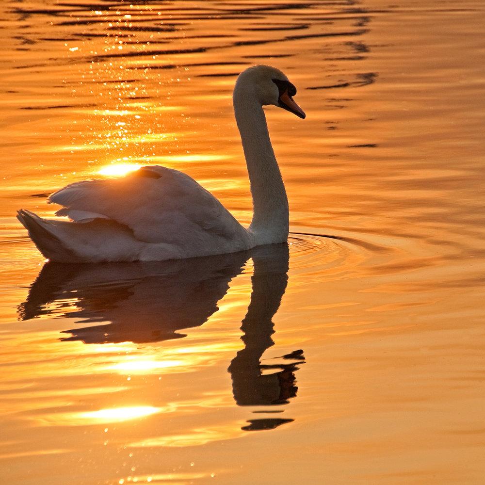 Swan at SOTG 3.jpg