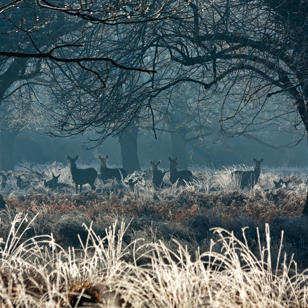 Frosty morning Richmond Park 21 R.jpg