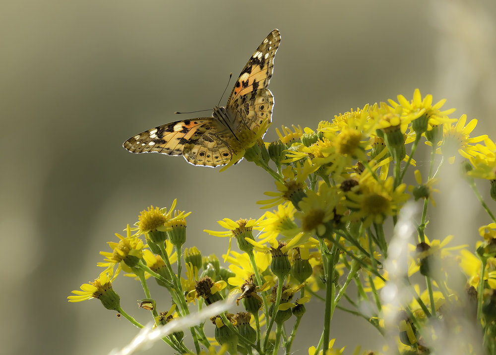 A Painted Lady bathed in Gold - The wonder of Barnes Common - Web Ready.jpg