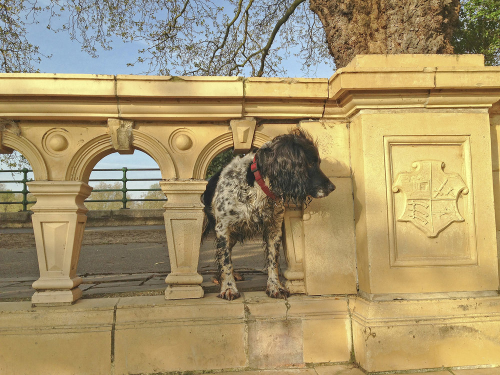 A Springer Spaniel looks out in Bishops Park WR.jpg