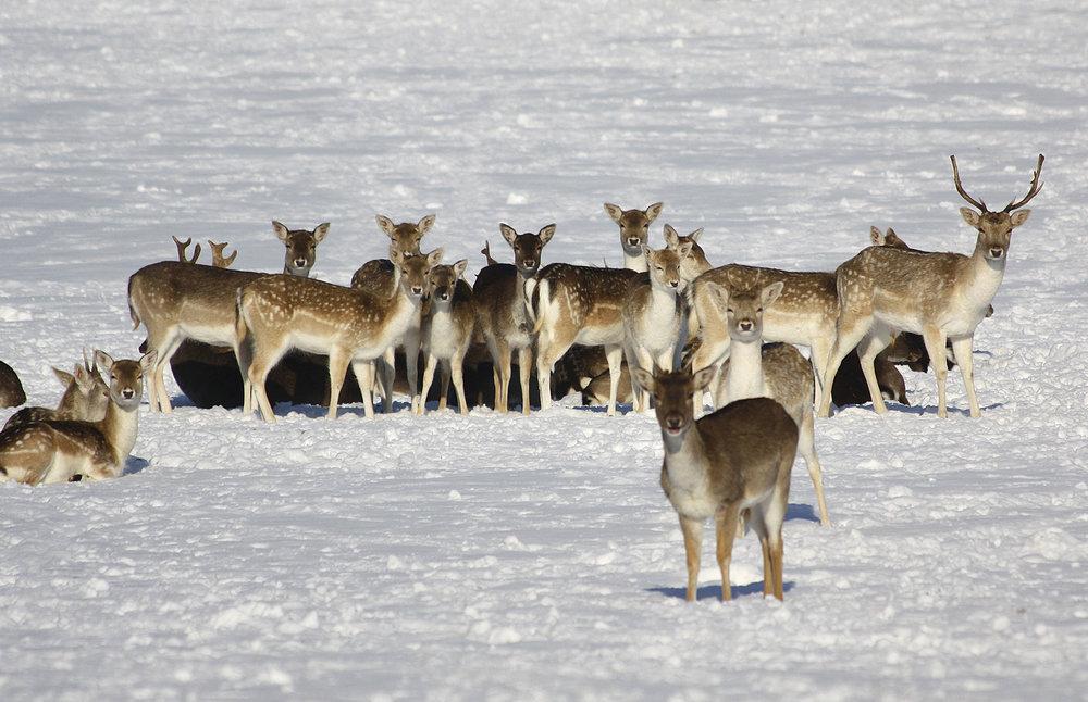 Fallow Deer in Richmond Park WR.jpg