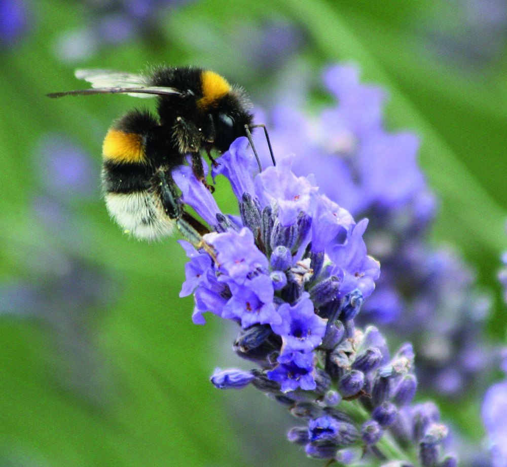 Bees love Lavender, Barnes WR.jpg