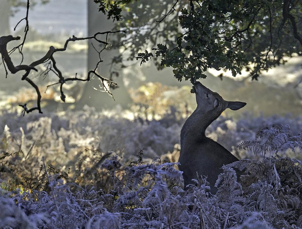 Deer in the frost 1 SV 2.jpg