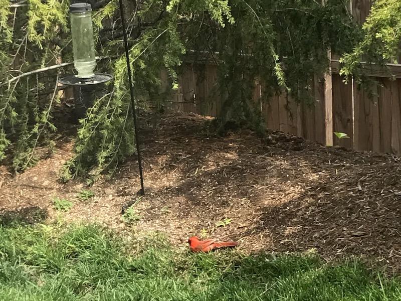 ooltewah-dentist-cardinal-bird.jpg