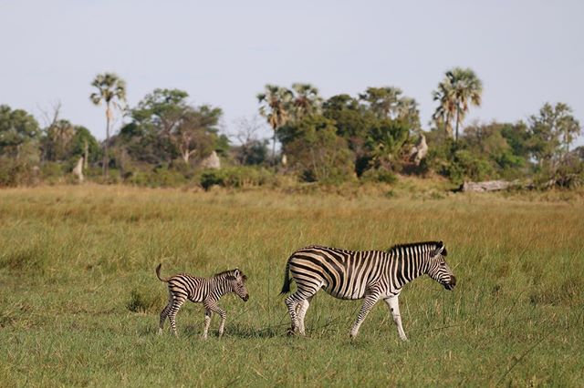 From November through March, the rains in Botswana bring not only lush green vegetation, but baby wildlife. From zebras to lions and elephants, newborns are everywhere! 📷: @jesuislapolice