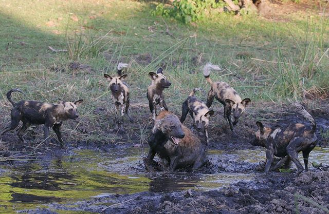 A pack of African wild dogs confront hyenas trailing too closely on their hunt. 📷: @jesuislapolice