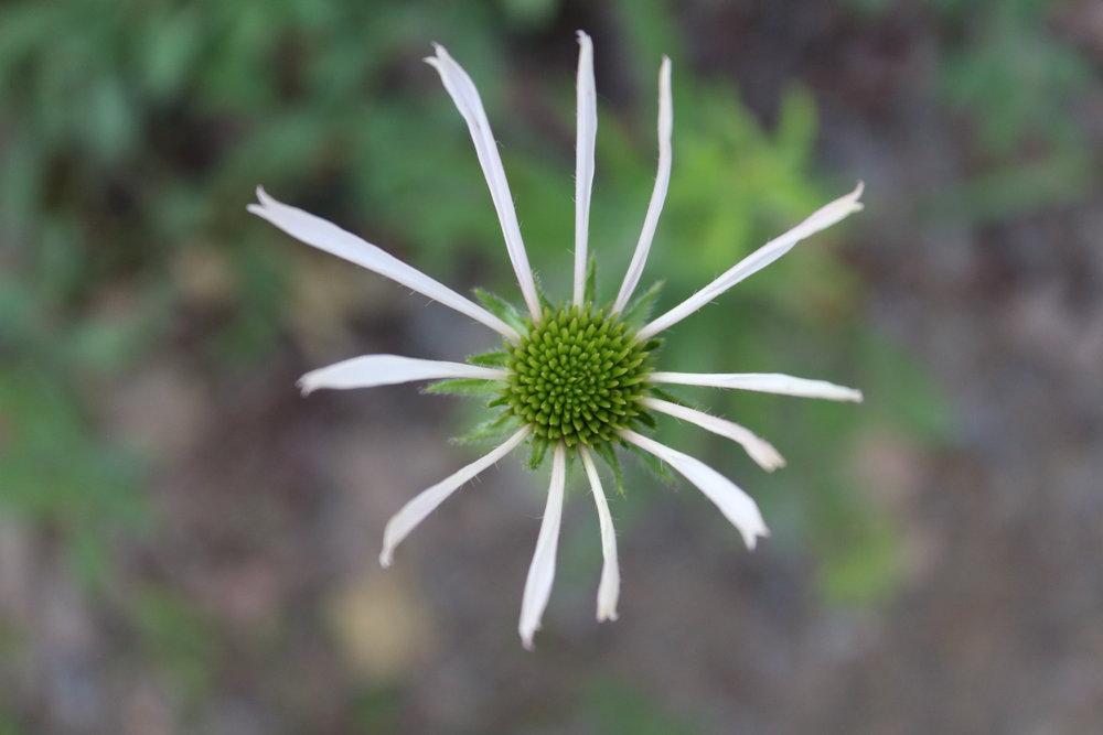 1494850514609-white%2520lone%2520flower.JPG