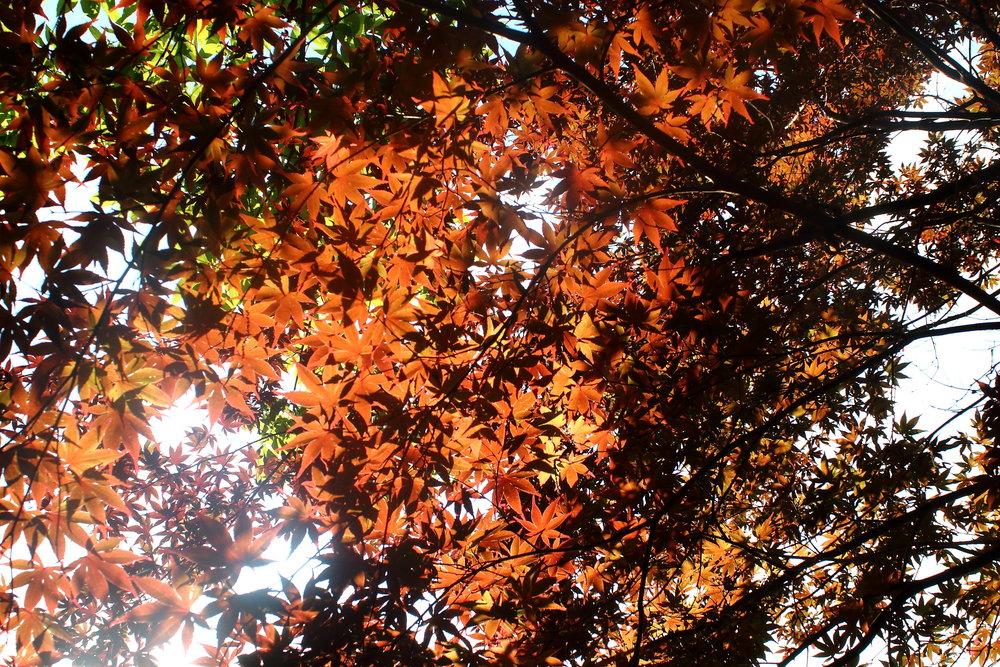 red maple in sun.JPG