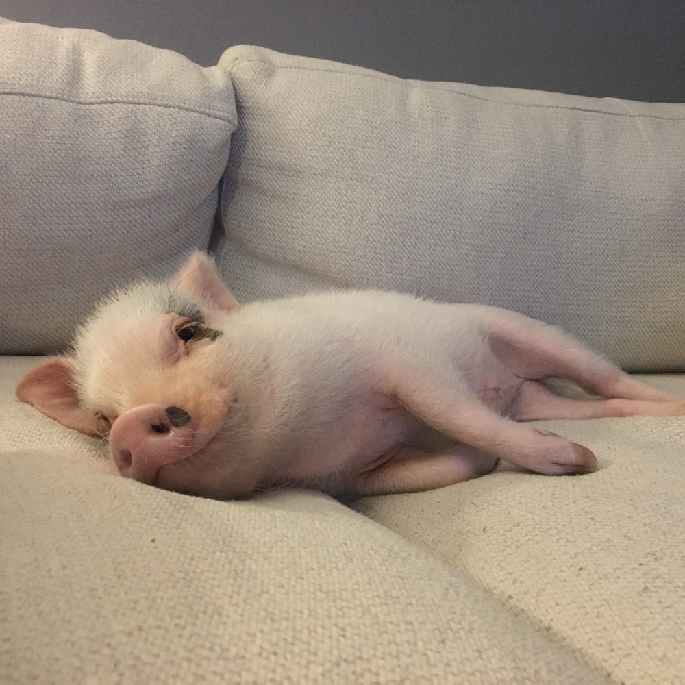 this is my best friend hank. - he's an american miniature potbelly pig growing up in the big easy—new orleans, louisiana.his favorite activity is snuggling, but he also loves making friends and trying new foods.he's my best friend. and yours.🐽❤️