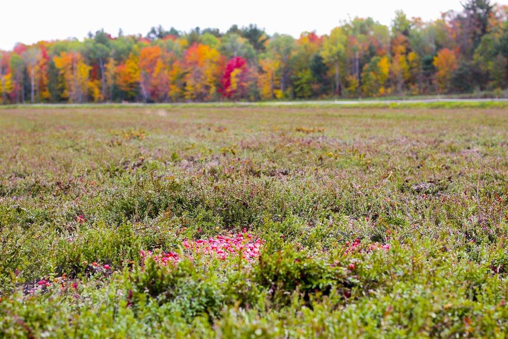 Bala Cranberry Marsh