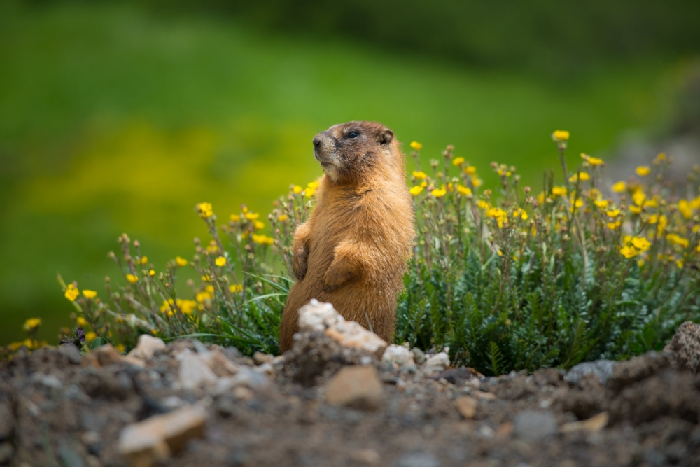yellow-bellied-marmot-close-up-colorado-rocky-CFBPX82.jpg