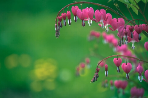 bleeding hearts, similar to the poppy in poison levels. (flowermeaning.com)