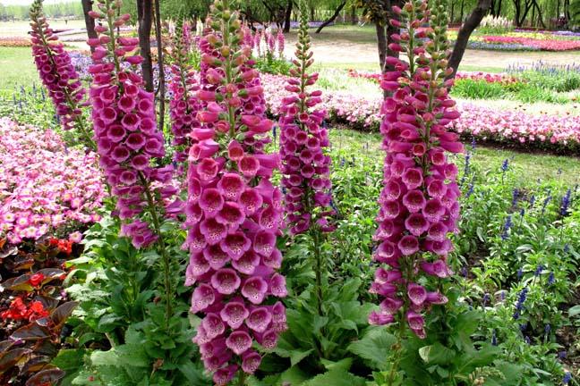 Розовый-Наперстянки-семена-саженцы-саженцы-Осенью-Сезонов-виды-цветы-горшечные-растения-60-семена-h11.jpg
