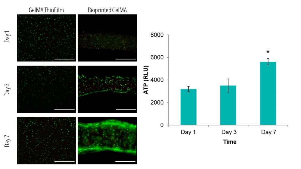 Figure 1: Live/Dead images (left) of GelMA thin films and bioprinted lines after 1,3 and 7 days of culture. Scale bars 0.5 mm. ATP data of GelMA thin films demonstrates increases viability from Day 1 to Day 7. (*) indicates statistical difference