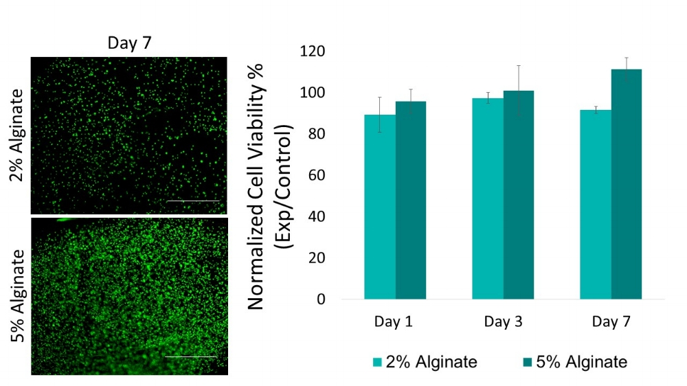 Figure 1: Live/Dead Images (left) of 2% and 5% bioprinted alginate thin films after 7 days of culture (scale bars = 1 mm). The data was quantified using Image J and viability data for 2% and 5% alginate thin films, normalized to pipetted thin film controls, is shown on the right.