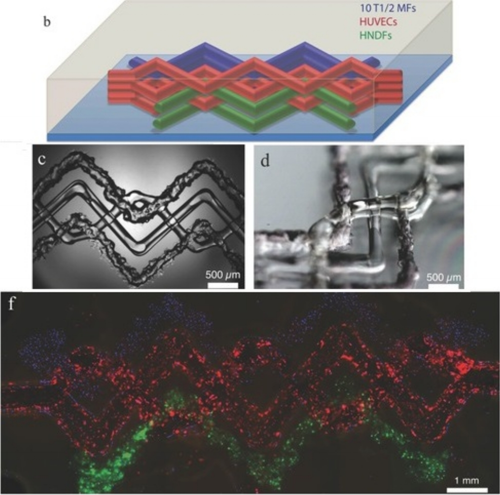 Figure 1: (adapted from  5 ) b) Schematic of the heterogeneous engineered tissue construct, in which blue, red, and green filaments correspond to printed 10T1/2 fibroblast-laden GelMA, fugitive, and GFP HNDF-laden GelMA, inks, respectively. c,d) Bright field microscopy image of the 3D printed tissue construct. f) Composite image (top view) of the 3D printed tissue construct acquired using three fluorescent channels: 10T1/2 fibroblasts (blue), HNDFs (green), HUVECs (red). ( 5 )