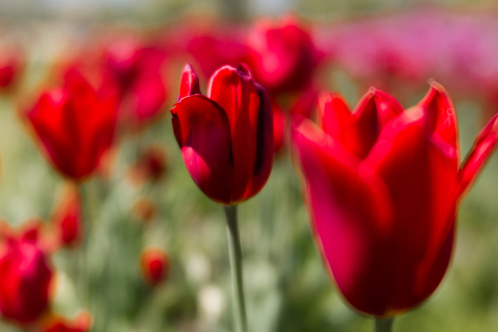 Kalamazoo-Photographers-Amanda-Schwab-Photography-Red-Tulips