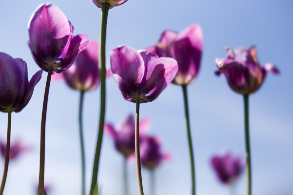 Kalamazoo-Photographers-Amanda-Schwab-Photography-Purple-Tulips