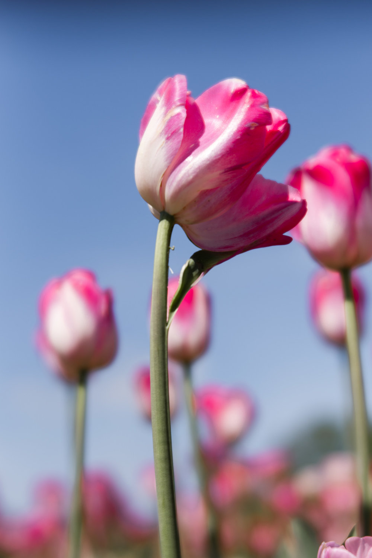 Kalamazoo-Photographers-Amanda-Schwab-Photography-Pink-Tulip