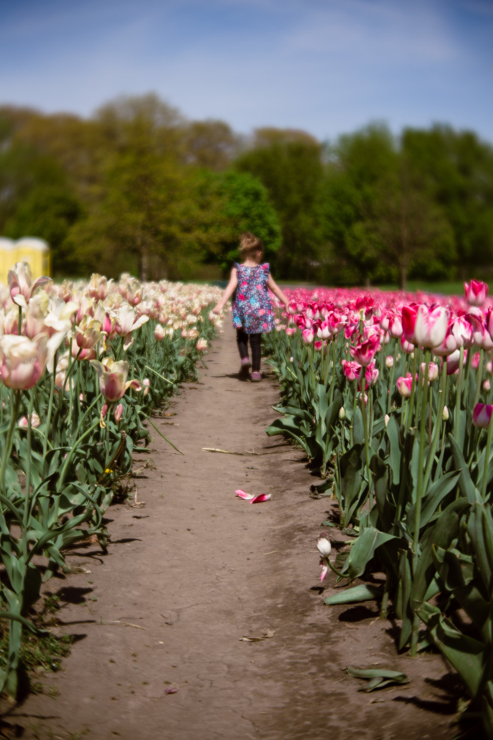 Kalamazoo-Photographer-Amanda-Schwab-Photography-Tulip-Time2