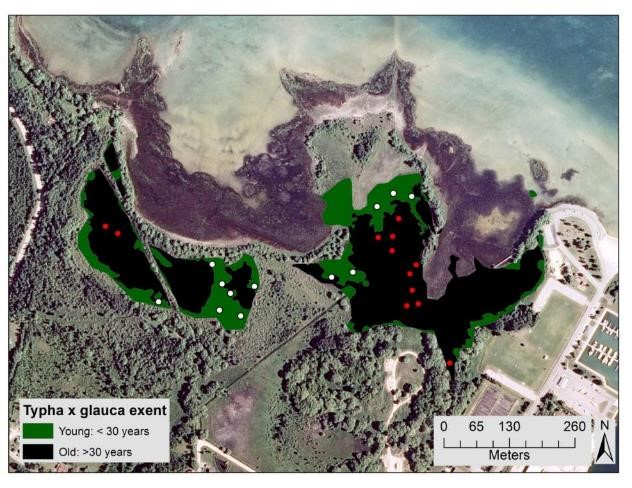 This map shows the location of the 4 x 4 meter research plots at Cheboygan Marsh. The red dots indicate plots that are in the older (>30 years) section of  Typha  invasion, and the white dots indicate plots in the younger (<30 years) section of  Typha  invasion.