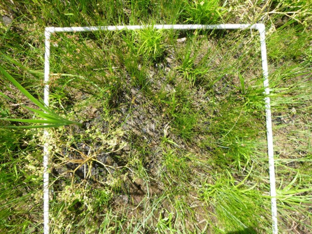 This is a 1 X 1 meter quadrant used to evaluate the plant community in our research sites. In this photo you can see a few  Typha  shoots, but most of the quadrant is filled with  Carex  and  Juncus  species that are rare in the surrounding invaded portion of the wetland.
