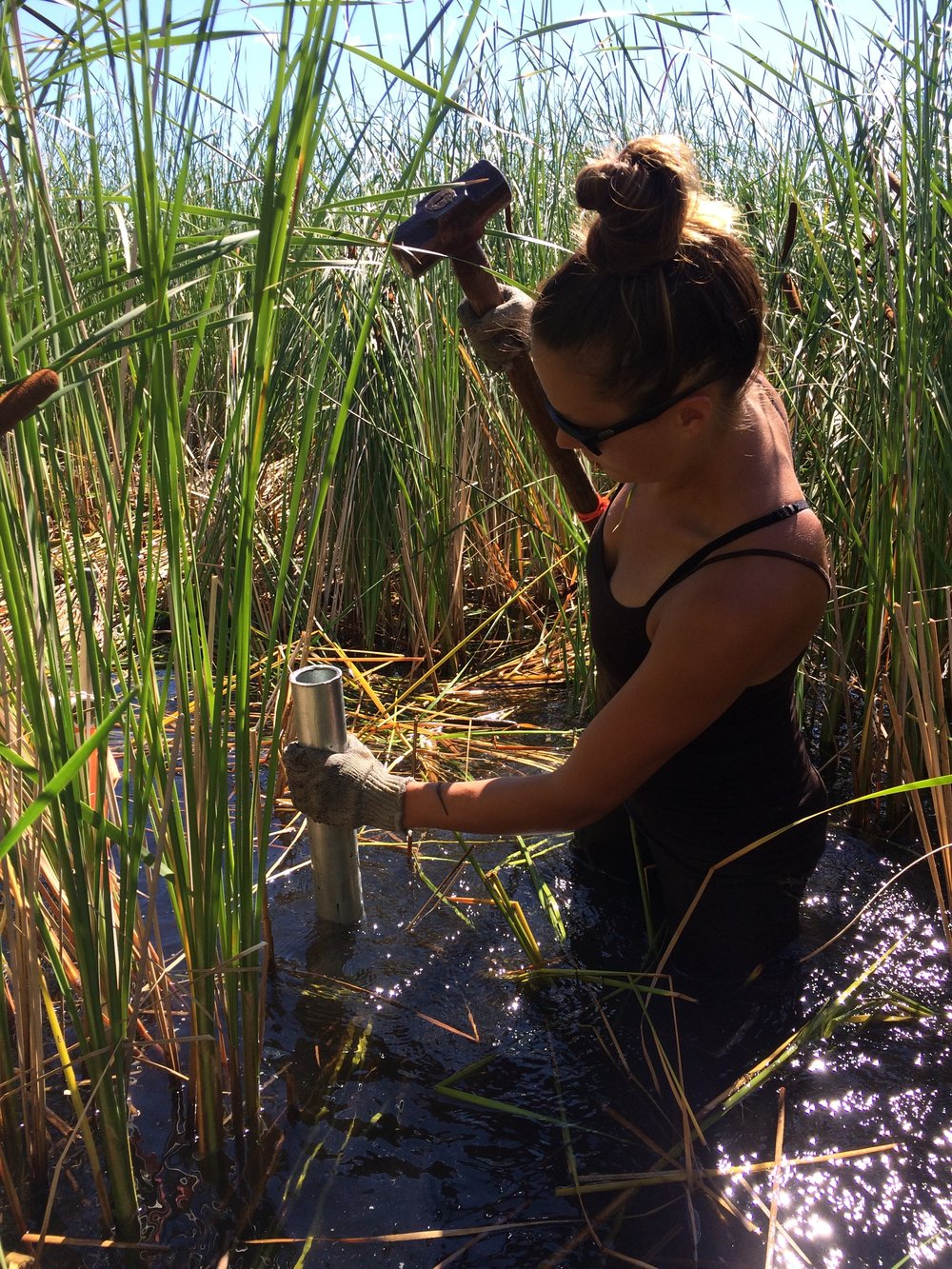 Graduate student Kelsey Berke collects sediment cores from one of the control plots. By analyzing the nitrogen and phosphorus content of the sediment in different treatments, she is hoping to learn how large-scale macrophyte removal will impact wetland nutrient cycling.
