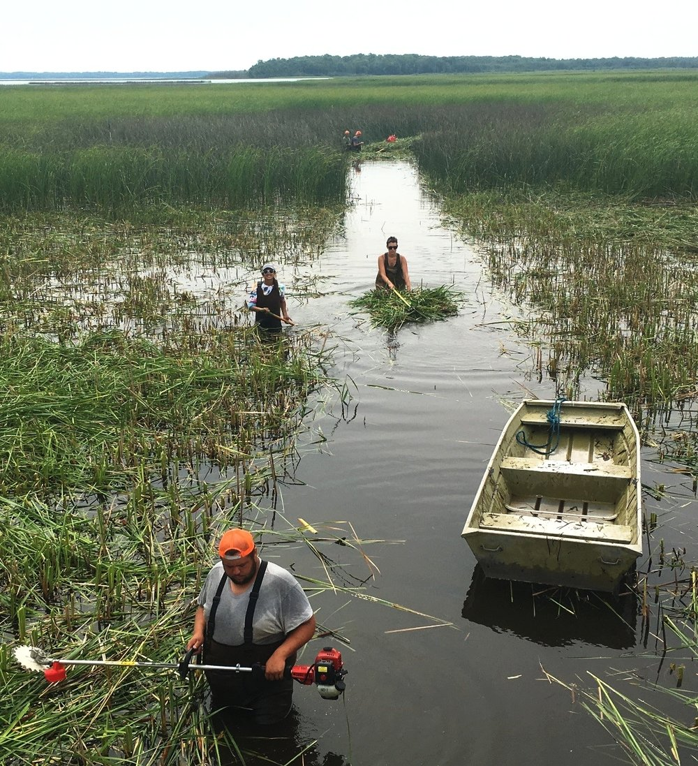 A team of Sault Tribe technicians and Loyola students work to clear a connectivity channel using aquatic weedwackers and rakes. This is the harvest/channel treatment plot in the blocked replicate at Munuscong Bay Marsh.
