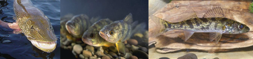 Many fish that spend their adult lives in the open lake system depend on coastal wetlands for spawning and nurseries. Pictured here from left to right are northern pike, yellow perch, and a juvenile walleye.