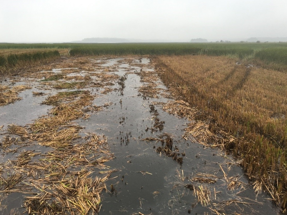 This picture shows one of the paired above/below water harvest treatment plots. The section on the left was cut at the sediment level using a sickle-bar mower attachment following above-water harvest with the Softrak. The open water patches created by below-water cutting should provide good habitat for waterfowl, but we also want to see how frogbit responds to the newly available opening.