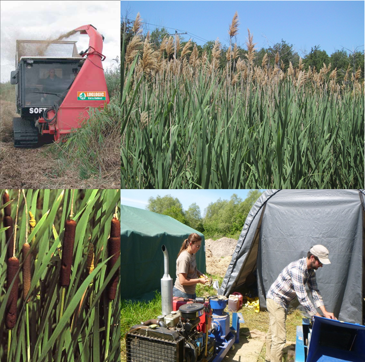 Clockwise from top left: 1)The softrak harvester cuts phragmites in Mentor Marsh to be used in Quasar's methane producing anaerobic digester. 2) Phragmites australis are an abundant wetland invasive plant in the Great Lakes region and represent a potential source of biomass for energy production. 3) Research associate Brendan Carson and field tech Logan Palowski prepare the hammer mill and pelletizer for Typha pellet production in Cheboygan. 4) Hybrid cattail (Typha × glauca), is another fast growing and abundant wetland invasive that could represent a substantial energy source.