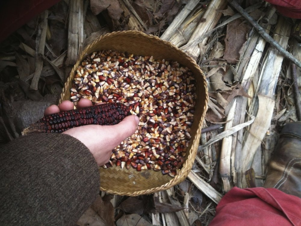 native-plants-corn-permaculture-oregon.jpg