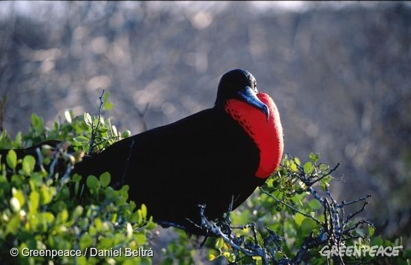 A Frigate bird. 1 Nov, 2001