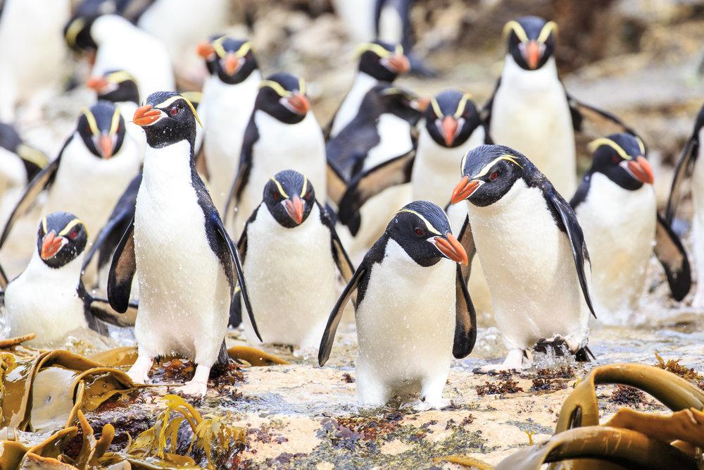 Snares Crested Penguin