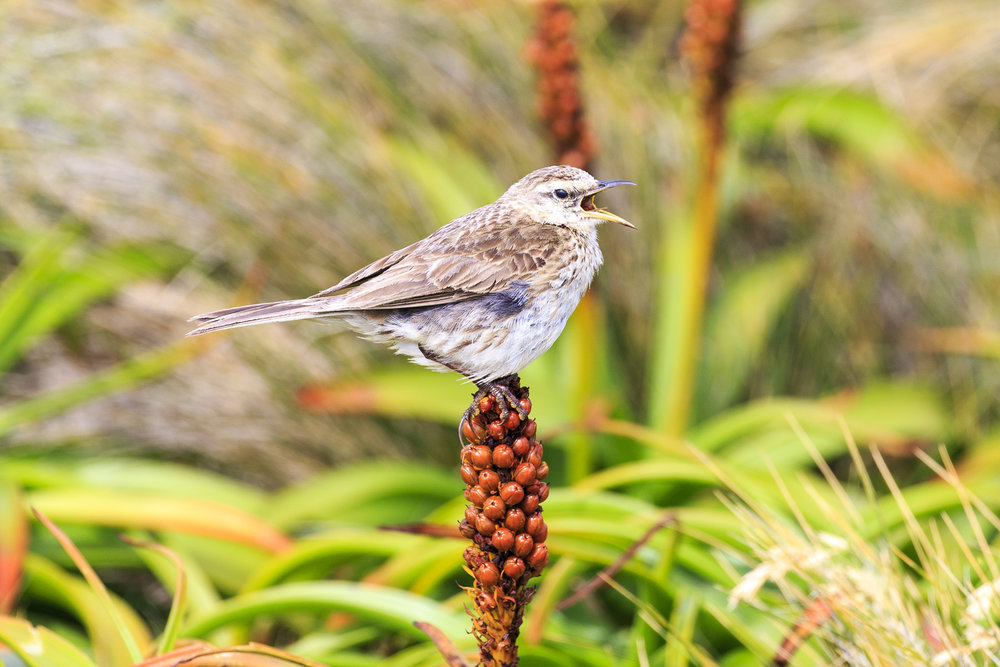 Auckland Island Pipit