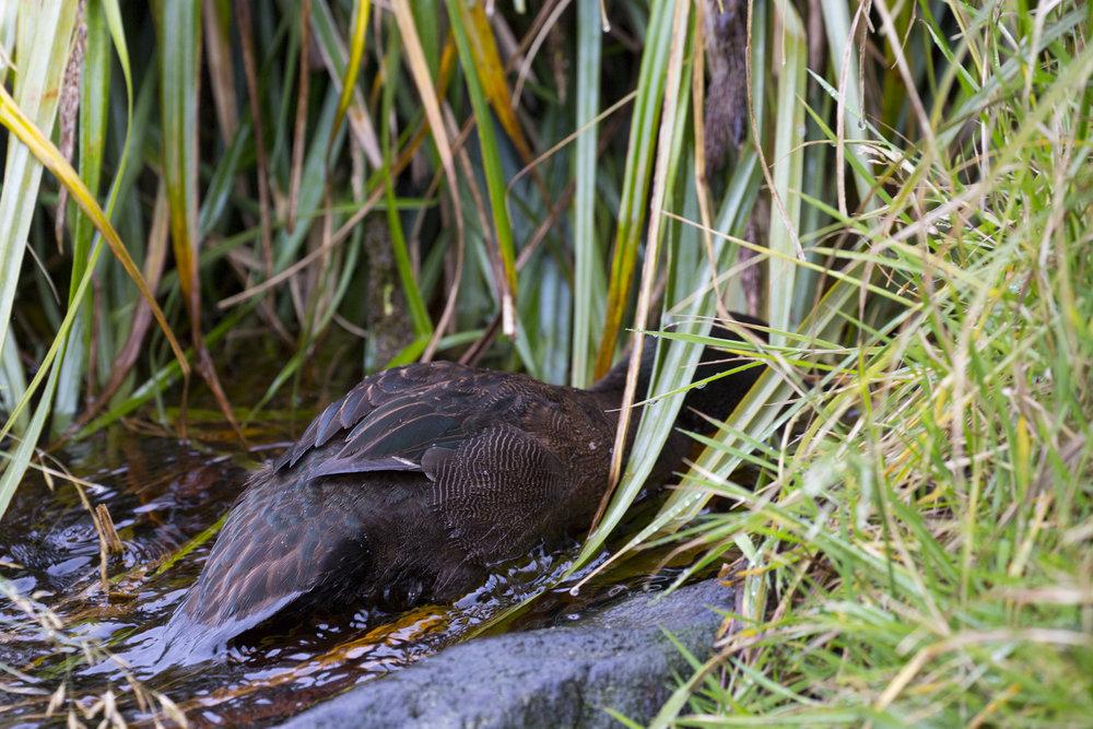 Auckland Island Teal