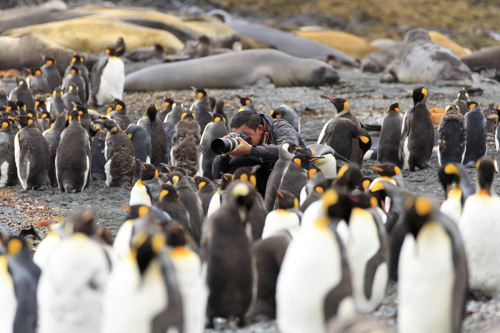 Atsushi among the King Penguins