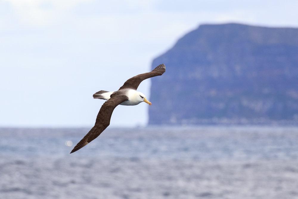 Campbell Albatross Campbell Island Subantarctic.jpg
