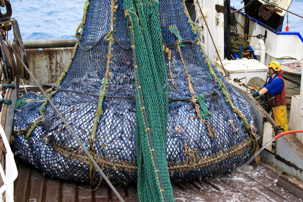 A net full of hoki