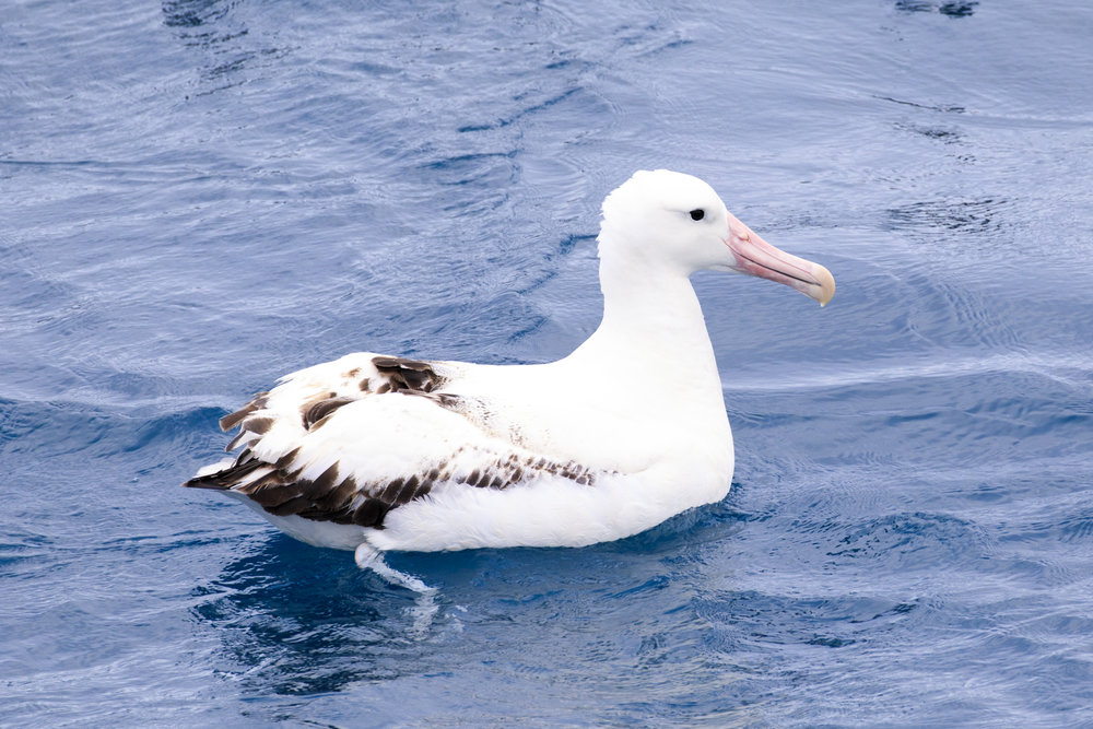 A very old Southern Royal Albatross