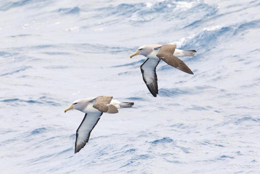 Double trouble - Salvins Albatross