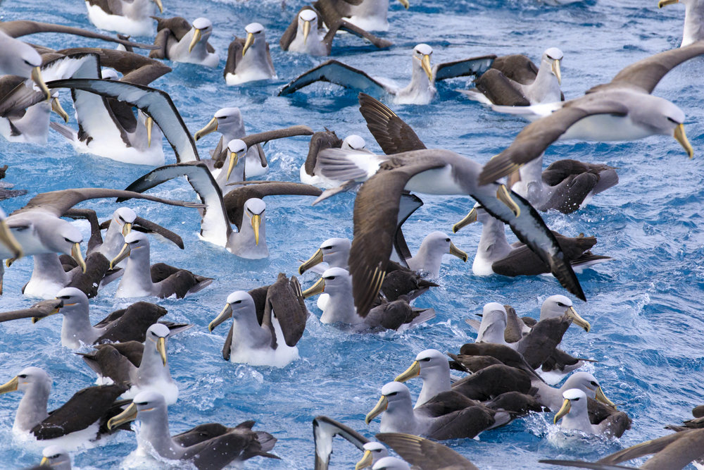 Mostly Salvins Albatross