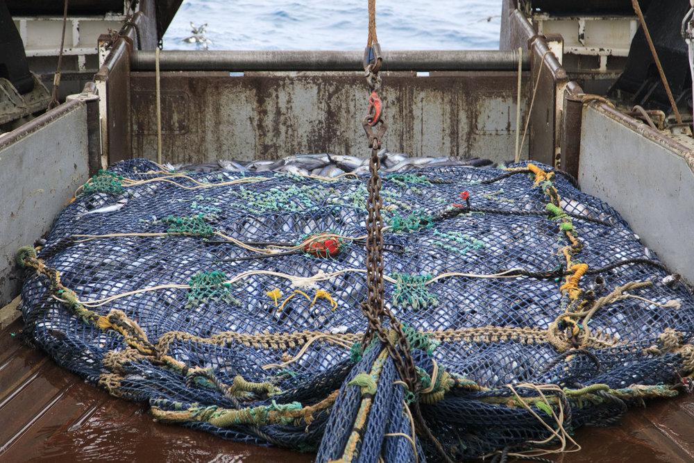 A net full of hoki