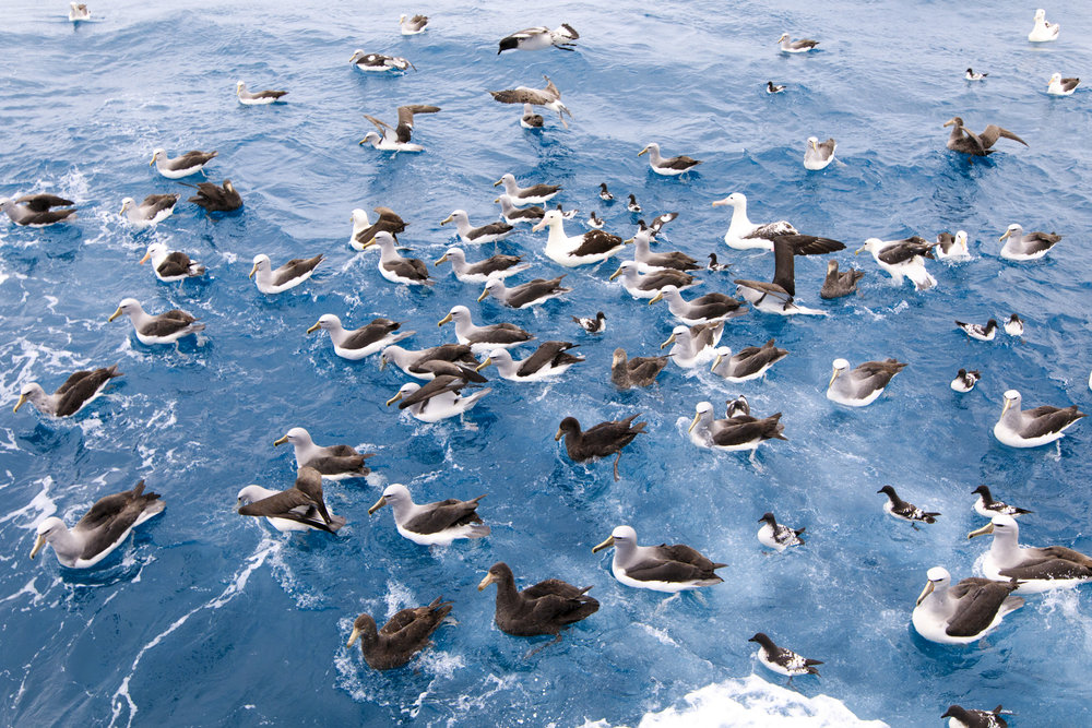 Seabirds waiting for the offal