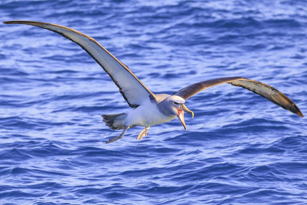 An angry Salvin's Albatross.