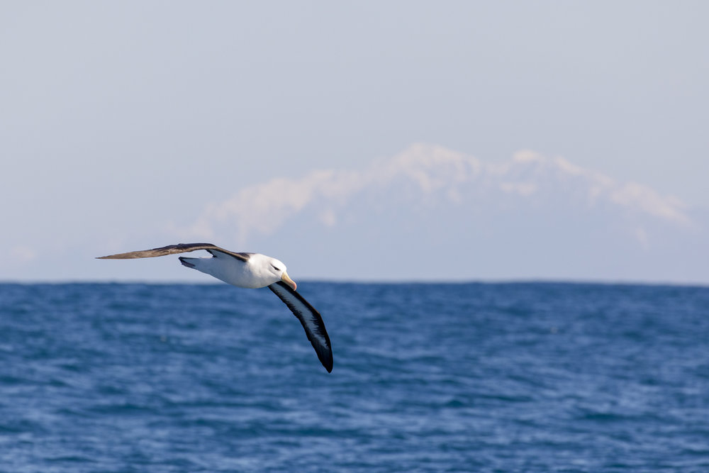 Black-Browed Albatross and snowy mountains