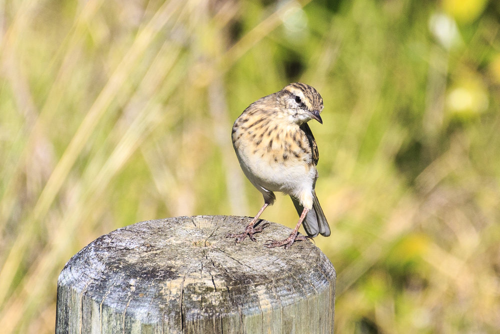 A cheeky New Zealand Pipit at Moawhitu Bay