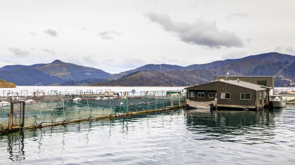 The salmon farm on a glassy Marlborough day