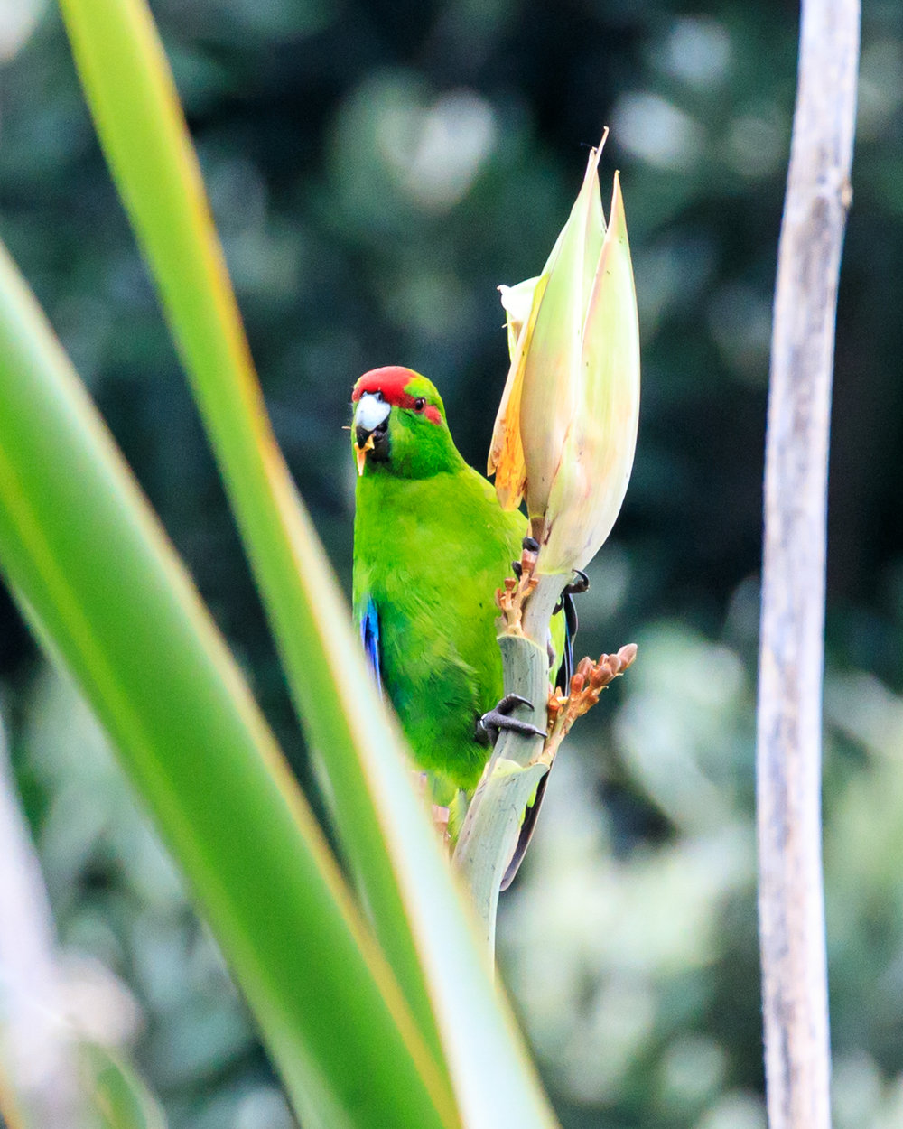 Red-Crowned Kakariki - Tiri Tiri Matangi Island