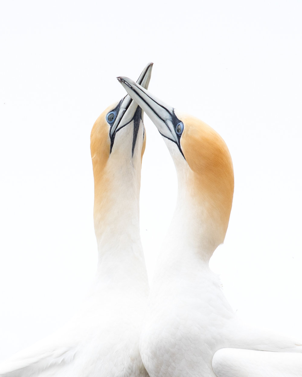 Lovers at the Gannet Colony near Great Barrier Island